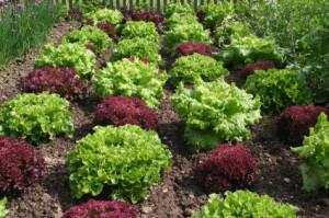 lettuce_plants